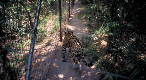 Belize Zoo: a Jaguar