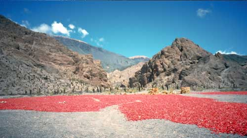 Argentina, Salta, Quebrada del Toro: Chillies drying in the sun