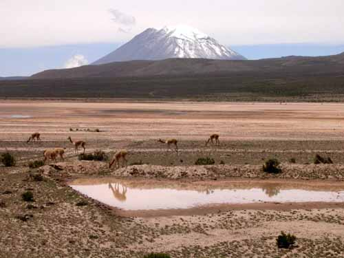 Peru: Vicuñas in front         of a volcano between Arequipa and Colca Canyon