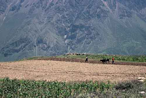 Peru, Colca Canyon: Field work with a team of<br />         oxen