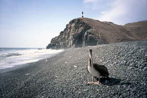 Peru, Cerro Azul: Pelican in front of the light         house