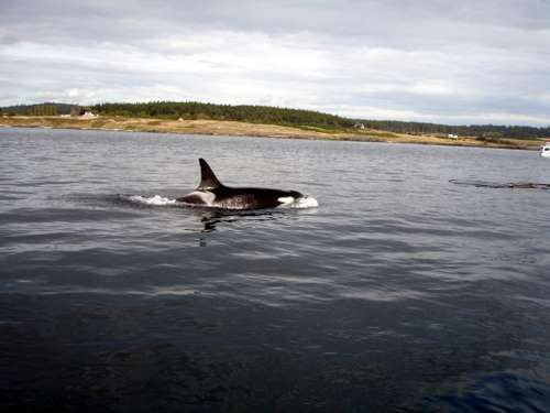Canada, Vancouver Island: Whale Watching